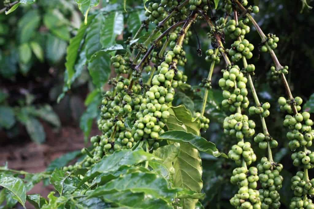 All About Green Coffee